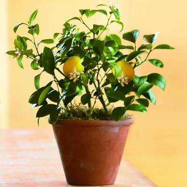 Big_lemon